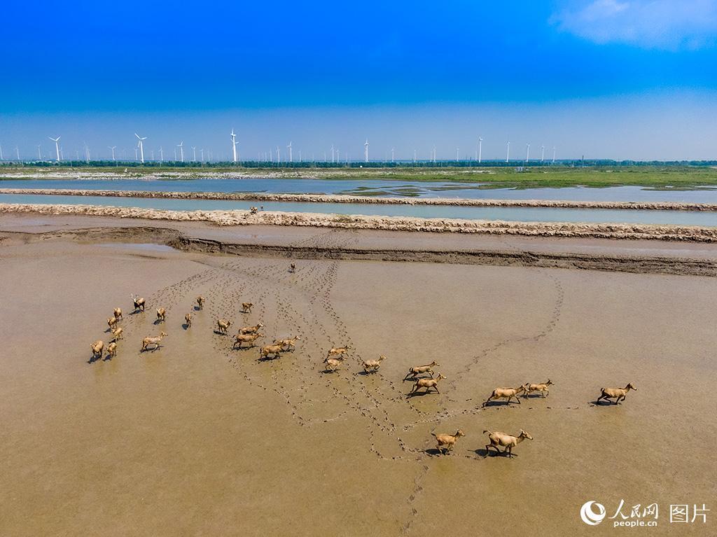 黄海湿地成麋鹿休养生息自然栖息地【2】