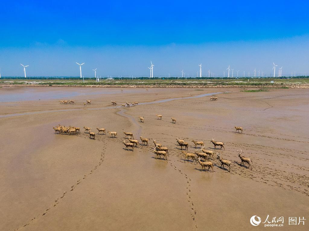 黄海湿地成麋鹿休养生息自然栖息地【12】