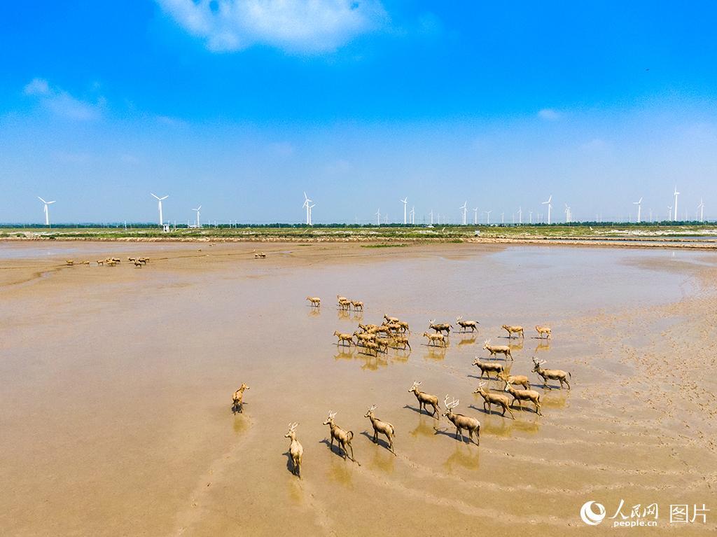 黄海湿地成麋鹿休养生息自然栖息地【5】