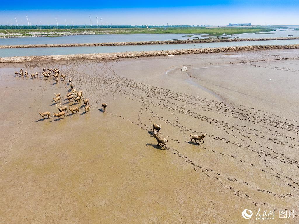 黄海湿地成麋鹿休养生息自然栖息地【6】