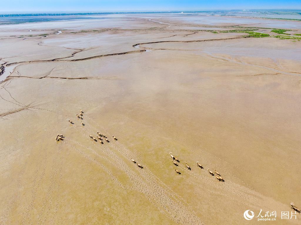 黄海湿地成麋鹿休养生息自然栖息地【8】