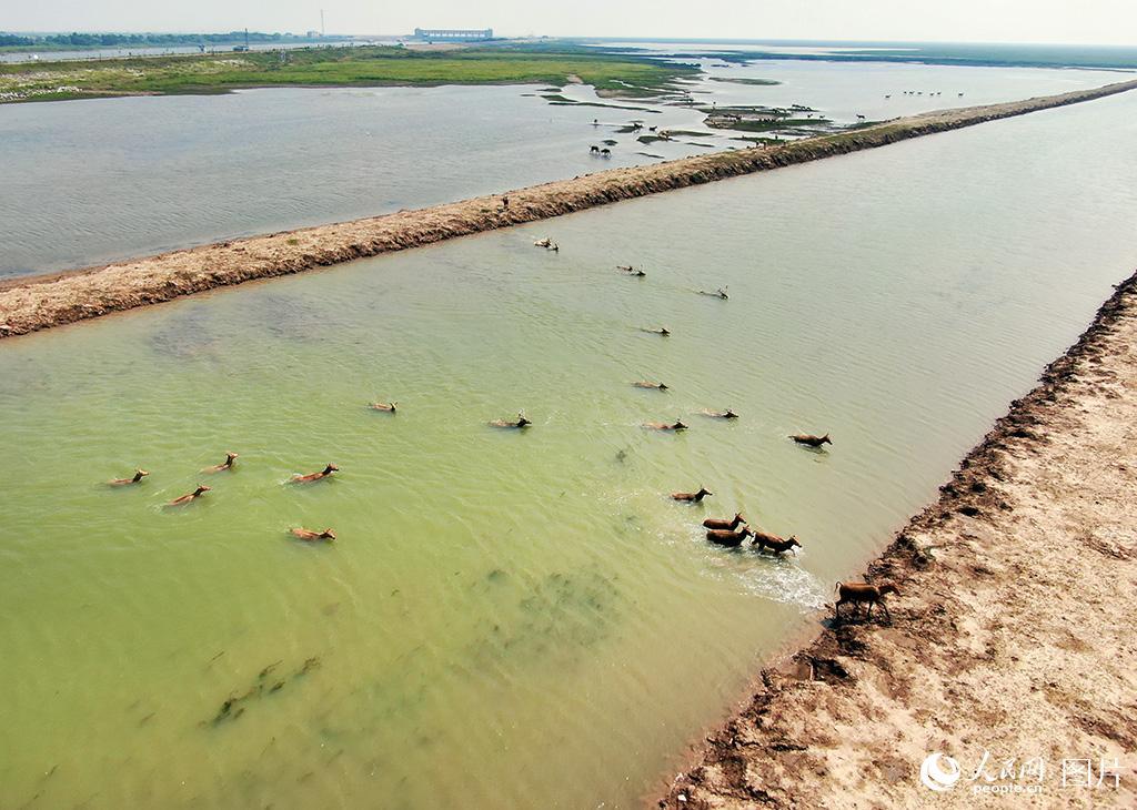 黄海湿地成麋鹿休养生息自然栖息地【9】