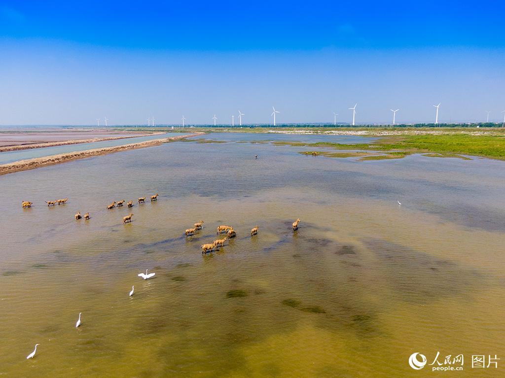 黄海湿地成麋鹿休养生息自然栖息地【13】