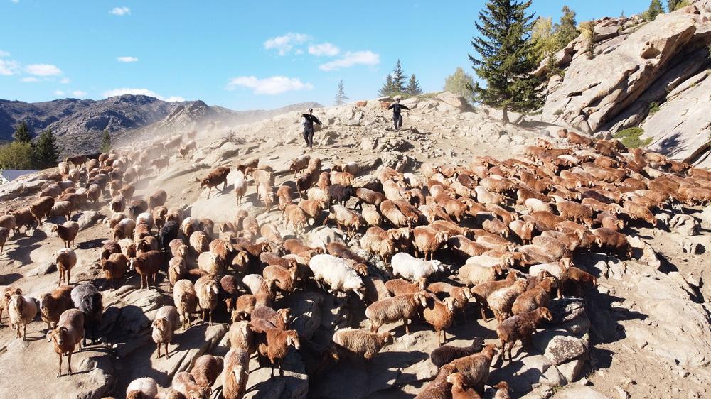 9月12日,新疆阿勒泰,民警帮助转场牧民驱赶羊群。
