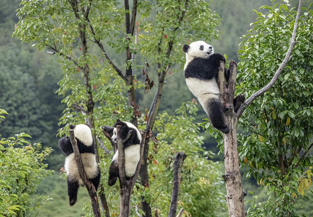 四川阿坝:大熊猫萌态十足惹人爱