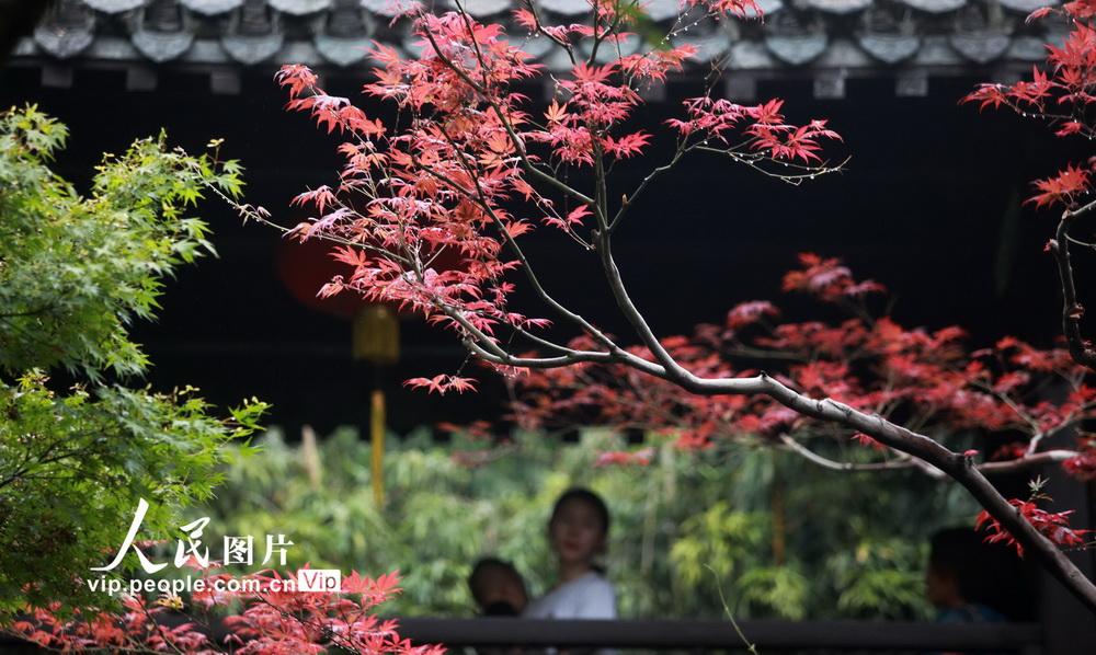 """江苏扬州:""""枫景""""醉游人"""
