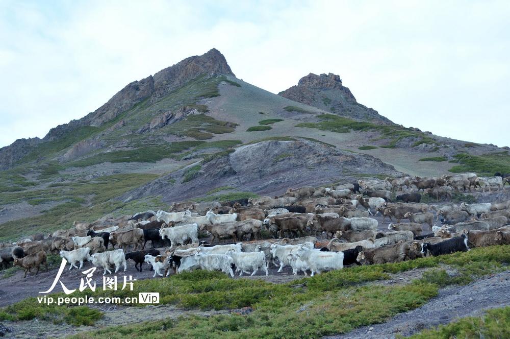 新疆北塔山牧场:秋季牧场畜群膘肥体壮【2】