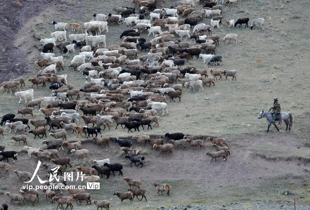 新疆北塔山牧场:秋季牧场畜群膘肥体壮【3】