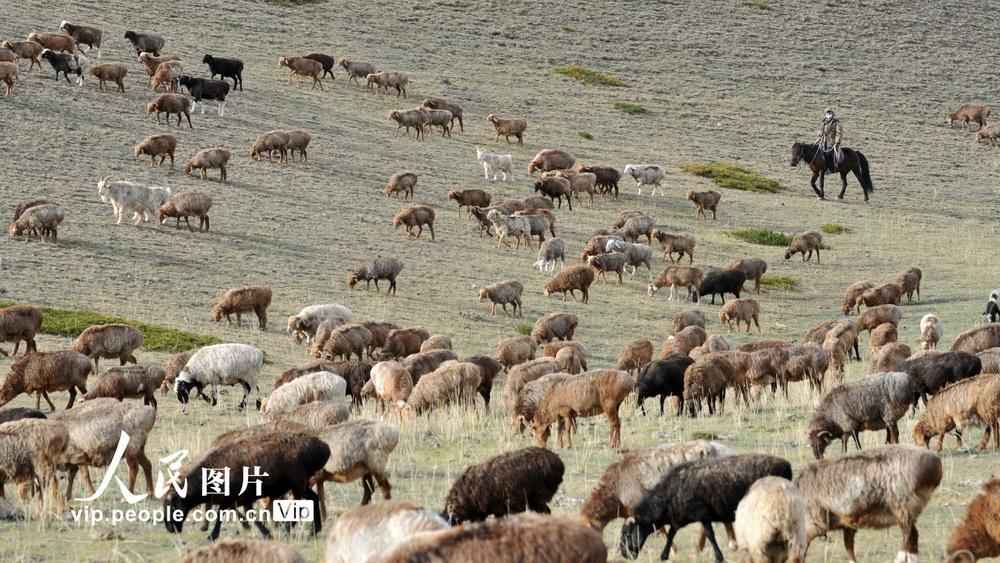 新疆北塔山牧场:秋季牧场畜群膘肥体壮