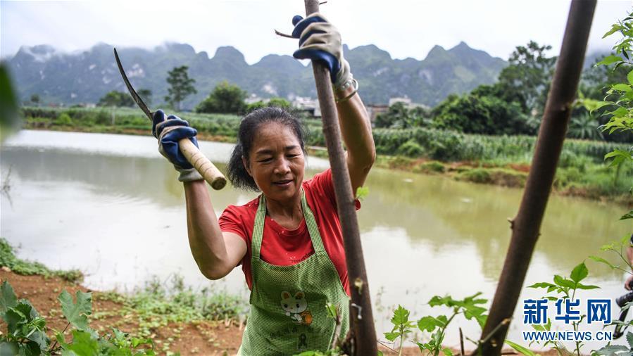9月19日,广西大化瑶族自治县贡川乡贡川村农民韦爱新在砍伐自己种植的构树,以剥取树皮制作贡川纱纸。