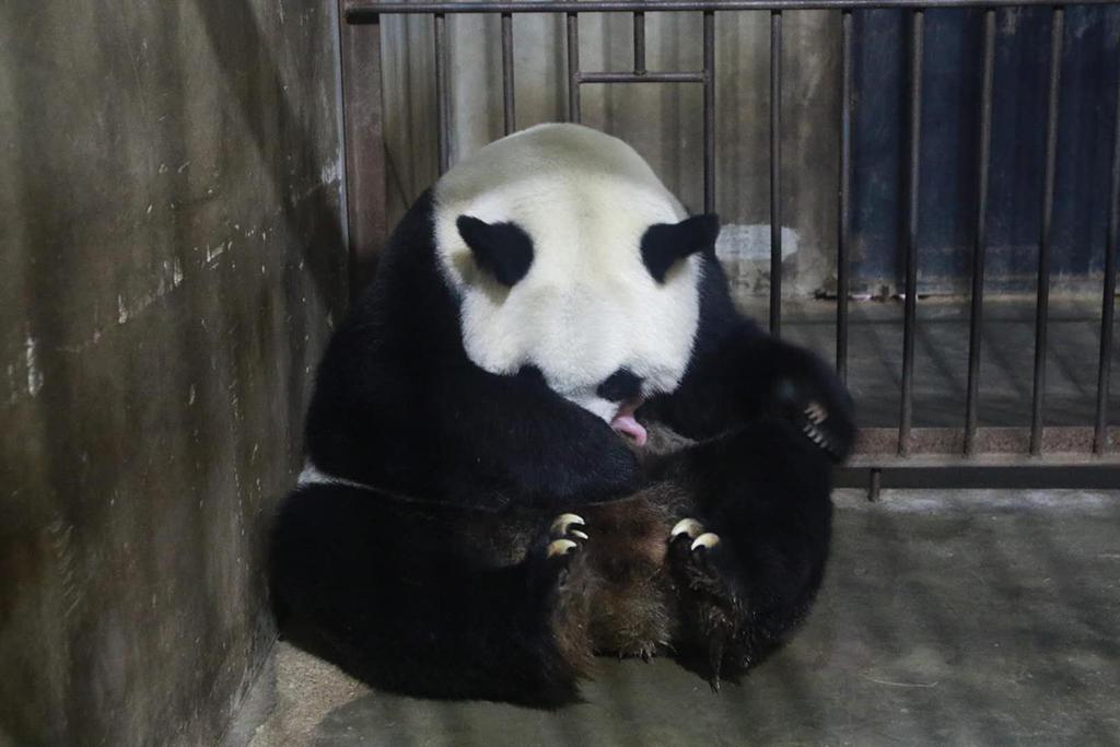 10月11日,大熊猫珠珠和刚刚出生的幼仔在一起。  新华社发(沈洁娜 摄)