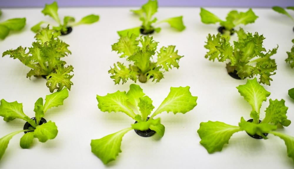 这是11月7日在进博会食品及农产品展区全球食品集成分销平台展馆拍摄的蔬菜。新华社记者 陈晔华 摄