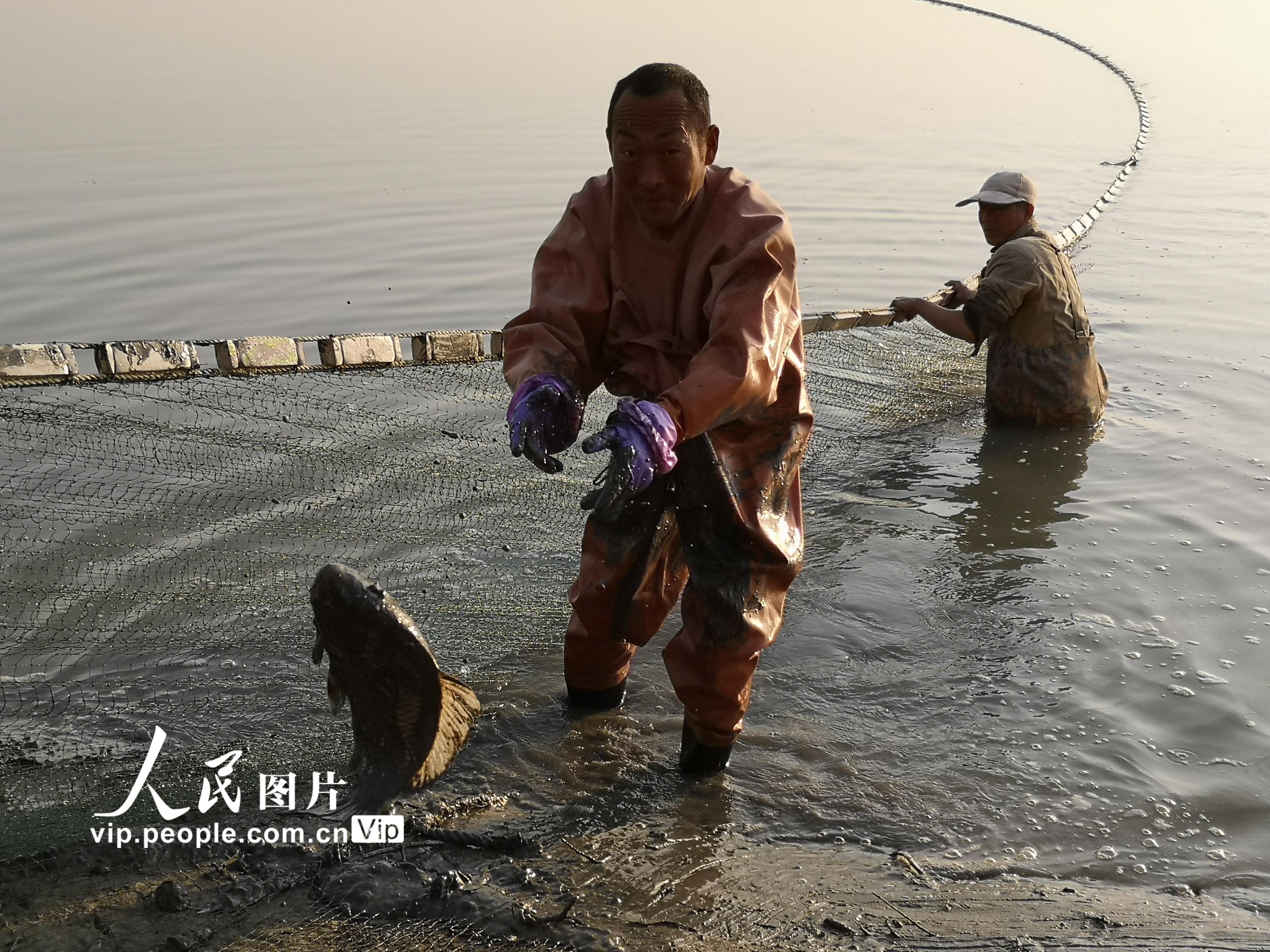 甘肃临泽:农民养鱼助力增收【2】
