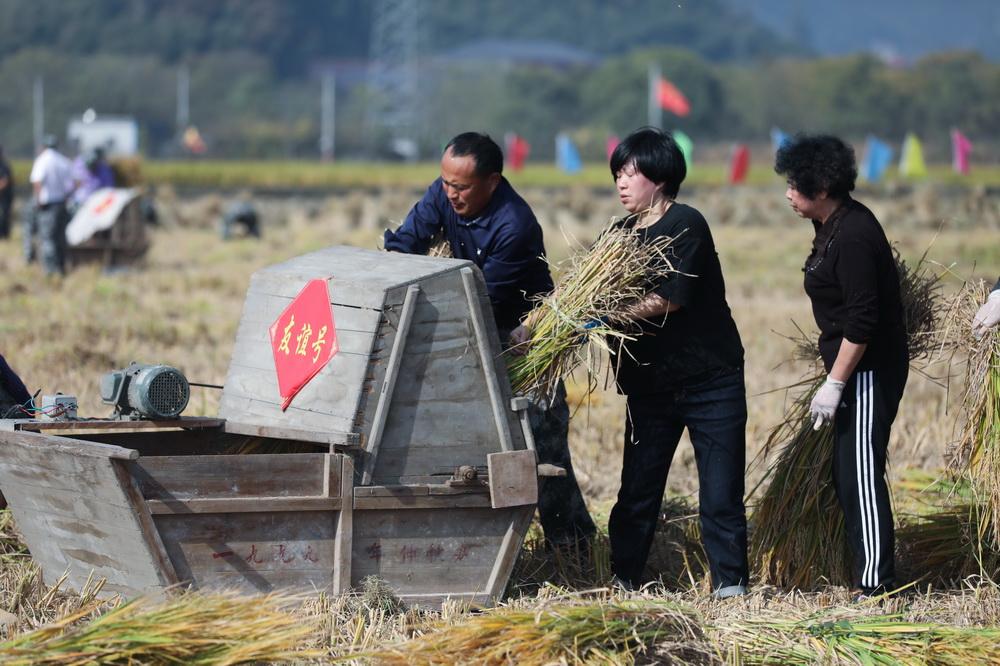 11月15日,村民在参加打稻谷比赛。