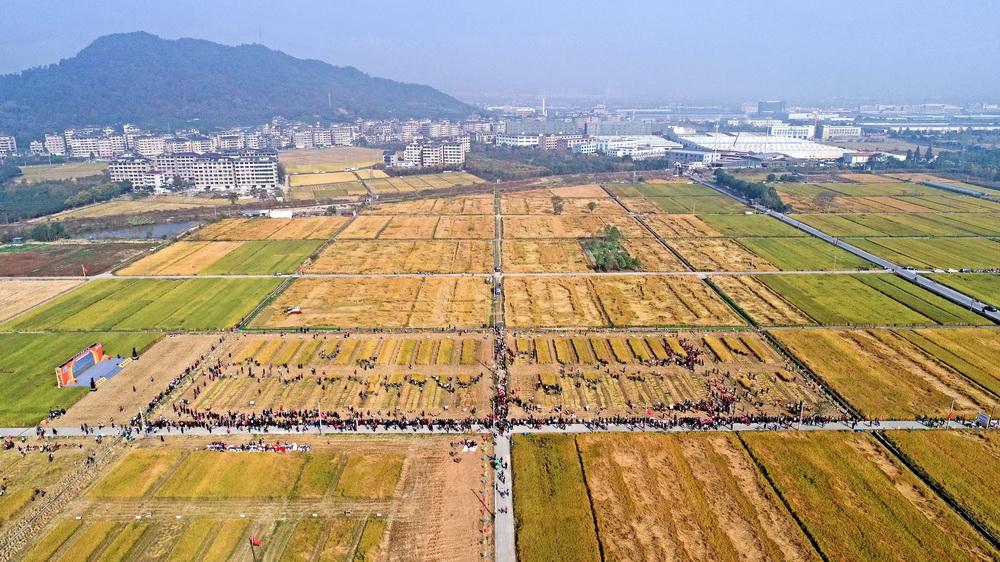11月15日拍摄的水稻田中的劳动竞赛现场(无人机照片)。