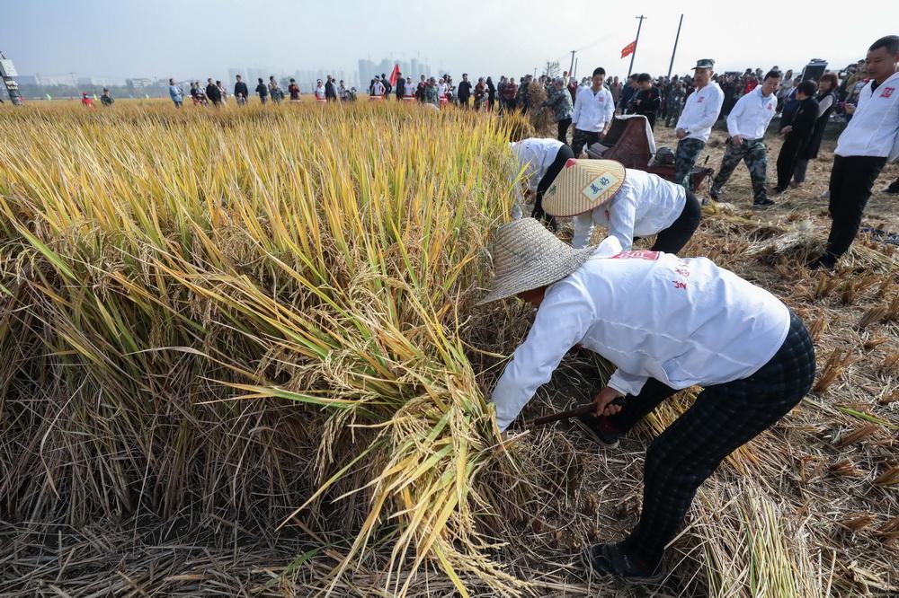 11月15日,参赛队员在参加割稻子比赛。