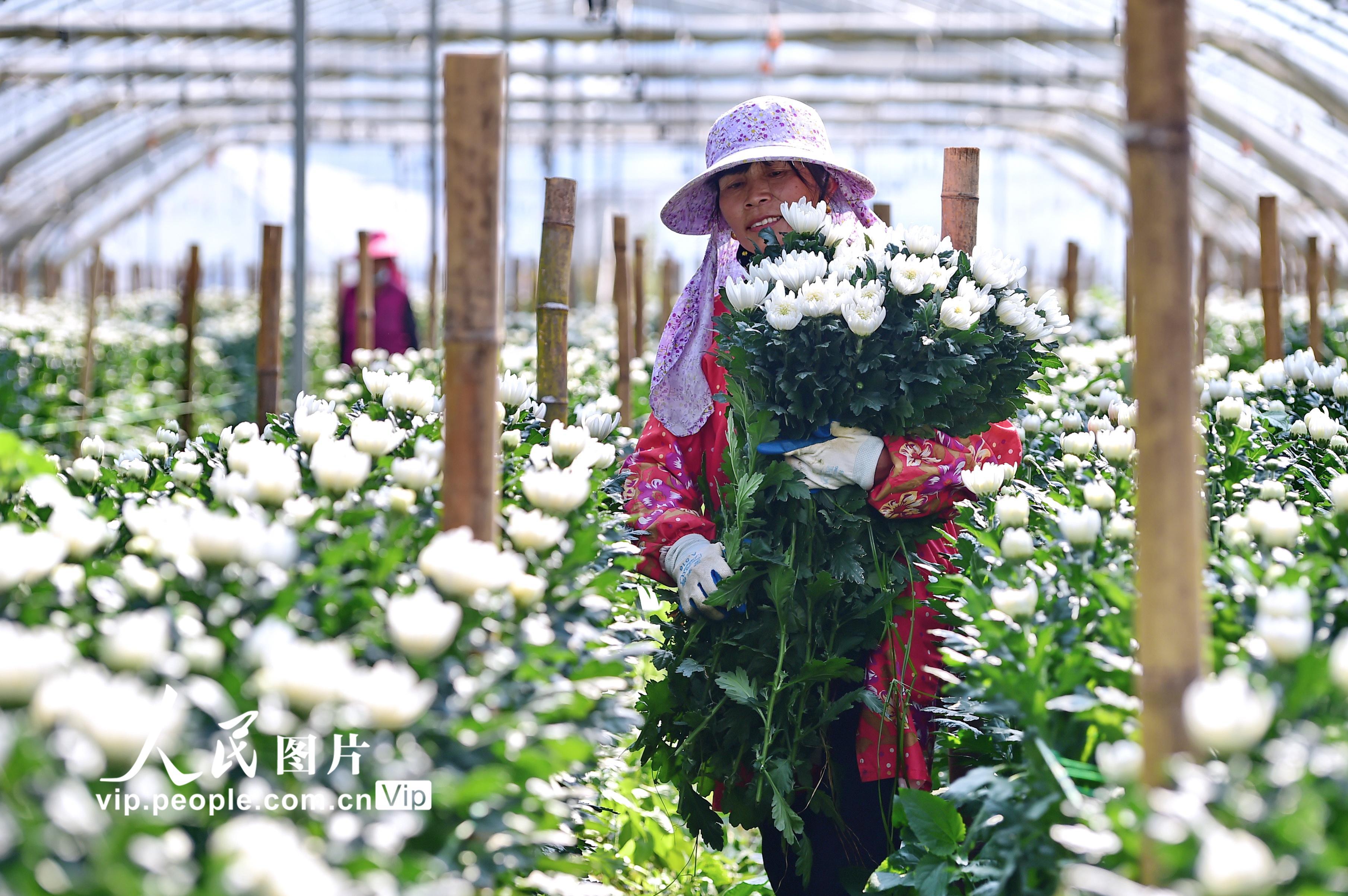 2020年11月16日,江西省赣州市会昌县小密乡半迳村,花农在鲜切花种植基地大棚里采摘小菊花。