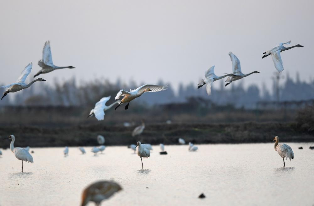 12月21日,天鹅等候鸟在南昌五星白鹤保护小区上空飞翔。