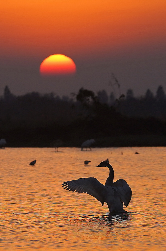 12月21日,天鹅等候鸟在南昌五星白鹤保护小区的湿地中栖息。