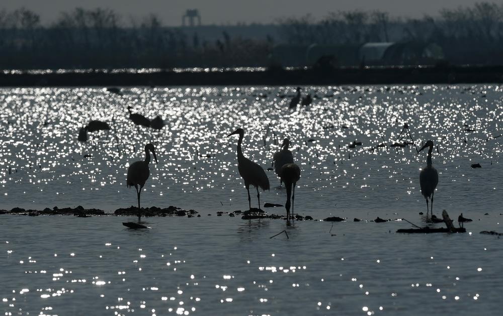 12月21日,白鹤等候鸟在南昌五星白鹤保护小区的湿地中栖息觅食。