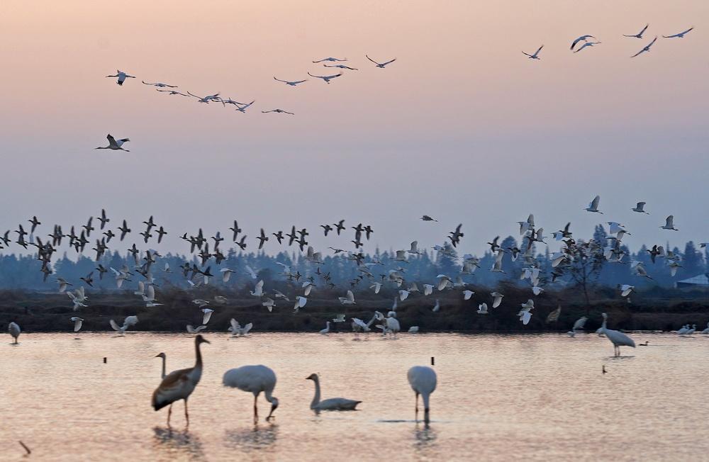 12月21日,候鸟在南昌五星白鹤保护小区的湿地中栖息觅食。
