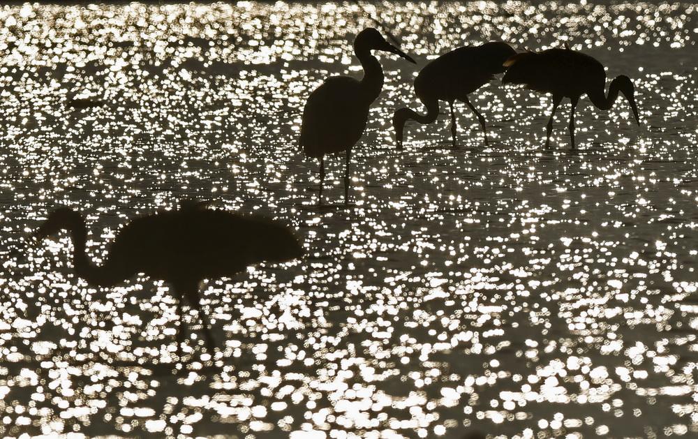12月21日,白鹤在南昌五星白鹤保护小区的湿地中觅食。