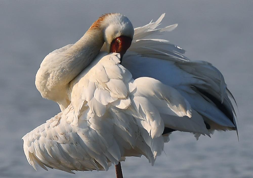 12月21日,白鹤在南昌五星白鹤保护小区的湿地中栖息。