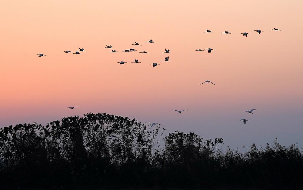 12月21日,白鹤等候鸟在南昌五星白鹤保护小区上空飞翔。