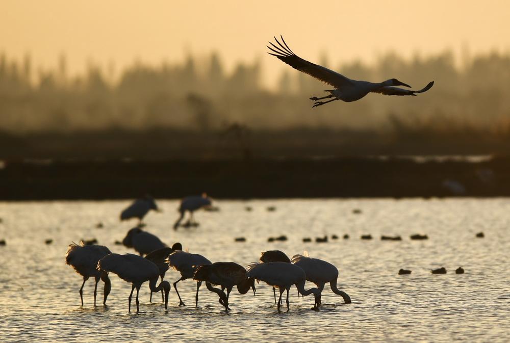 12月21日,白鹤等候鸟在南昌五星白鹤保护小区的湿地中觅食。