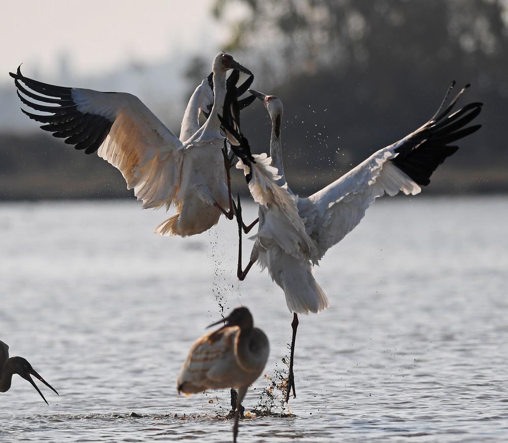 12月21日,白鹤在南昌五星白鹤保护小区的湿地中嬉戏。