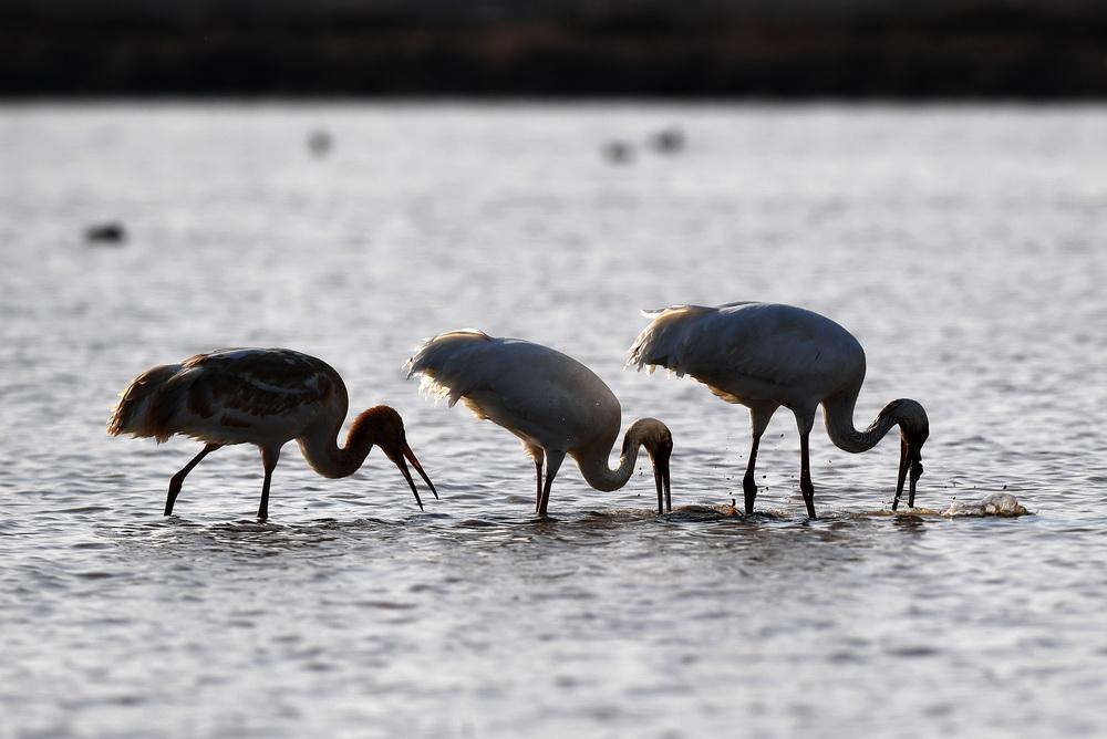 12月21日,几只白鹤在南昌五星白鹤保护小区的湿地中觅食。