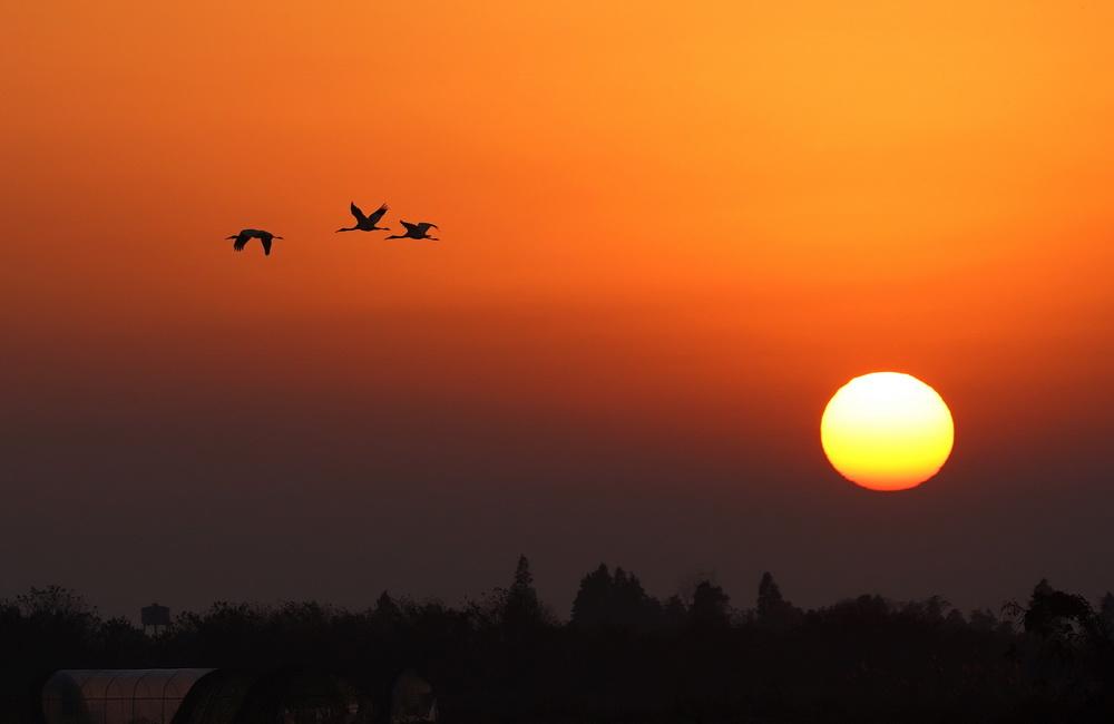 12月21日,几只白鹤在南昌五星白鹤保护小区上空飞翔。