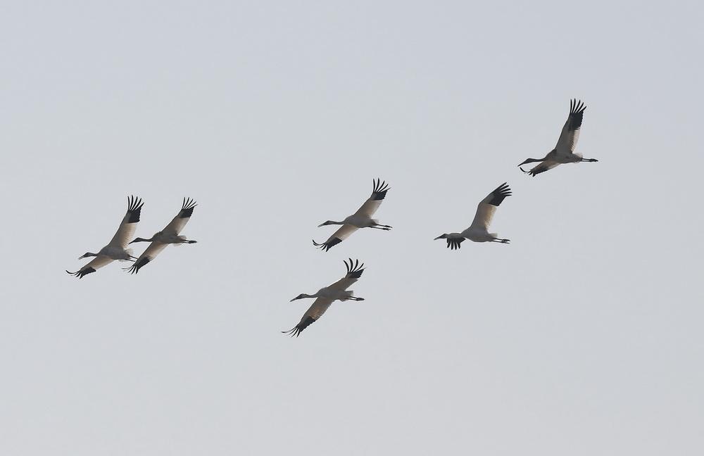 12月21日,白鹤在南昌五星白鹤保护小区上空飞翔。