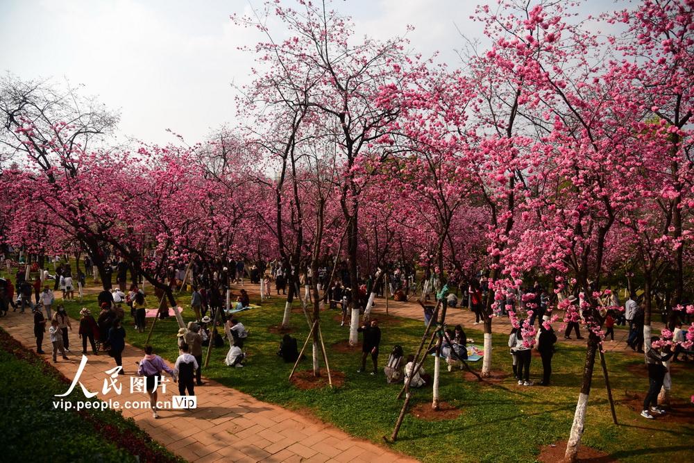 2021年3月7日,云南昆明圆通山盛开的樱花、海棠引得游人继续不停。