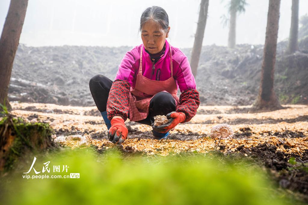 贵州毕节:林下竹荪种植忙