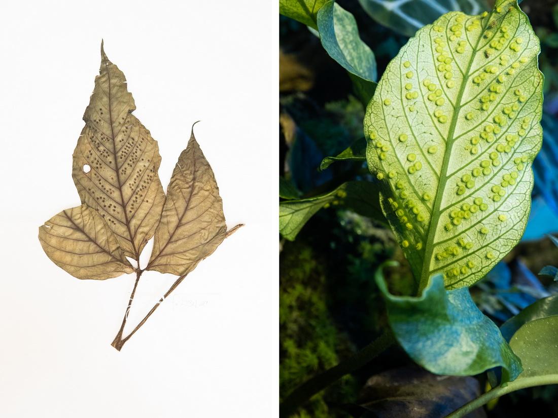 这是10月10日在昆明植物园拍摄的天星蕨。这张拼版照片分别为科研人员野外采集的标本(左)和在植物园迁地保护后存活下来的同种植物。
