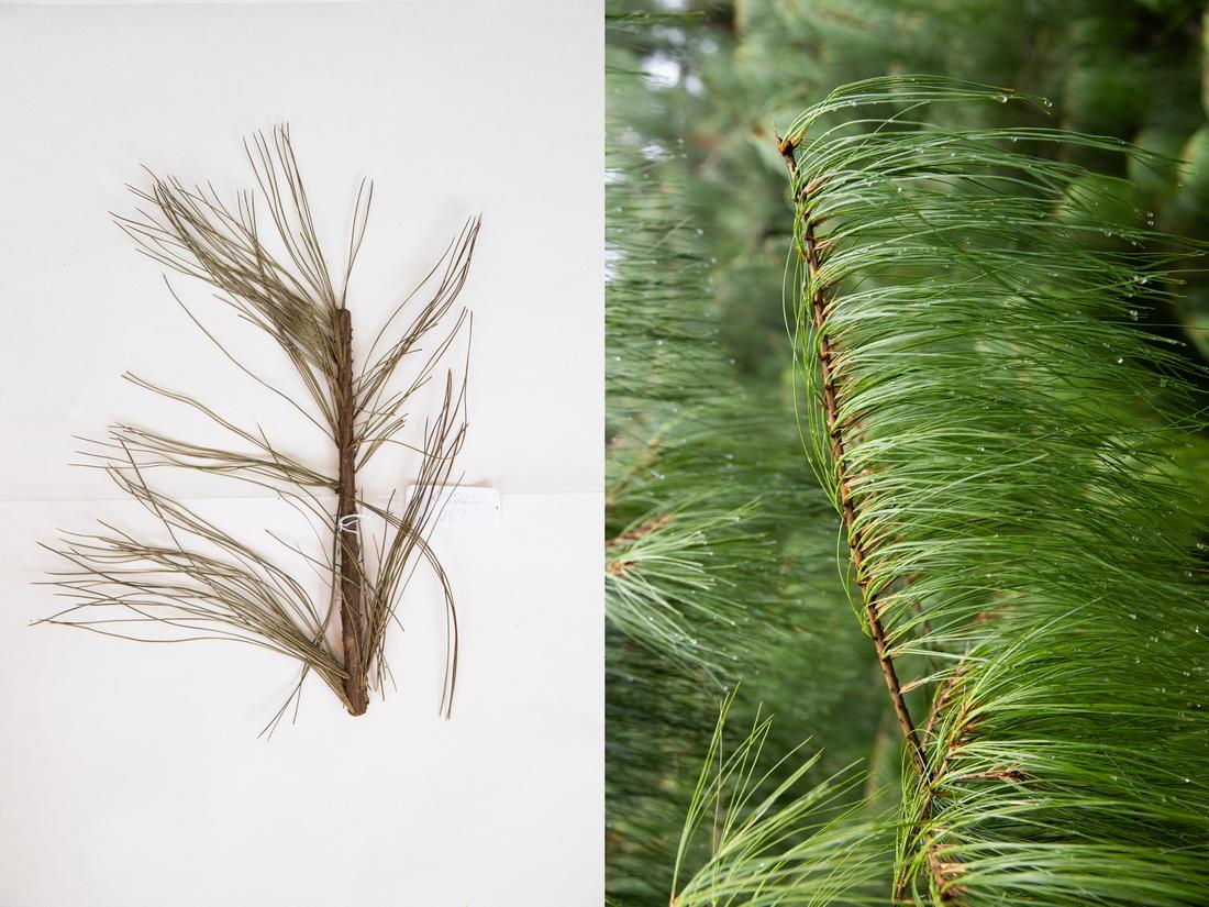 这是10月10日在昆明植物园拍摄的巧家五针松。这张拼版照片分别为科研人员野外采集的标本(左)和在植物园迁地保护后存活下来的同种植物。
