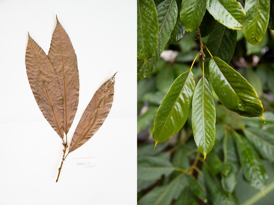 这是10月10日在昆明植物园拍摄的西畴青冈。这张拼版照片分别为科研人员野外采集的标本(左)和在植物园迁地保护后存活下来的同种植物。