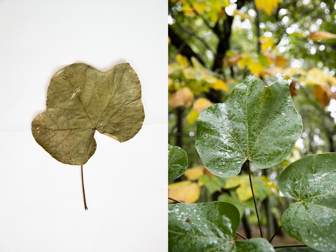 这是10月10日在昆明植物园拍摄的云南梧桐。这张拼版照片分别为科研人员野外采集的标本(左)和在植物园迁地保护后存活下来的同种植物。