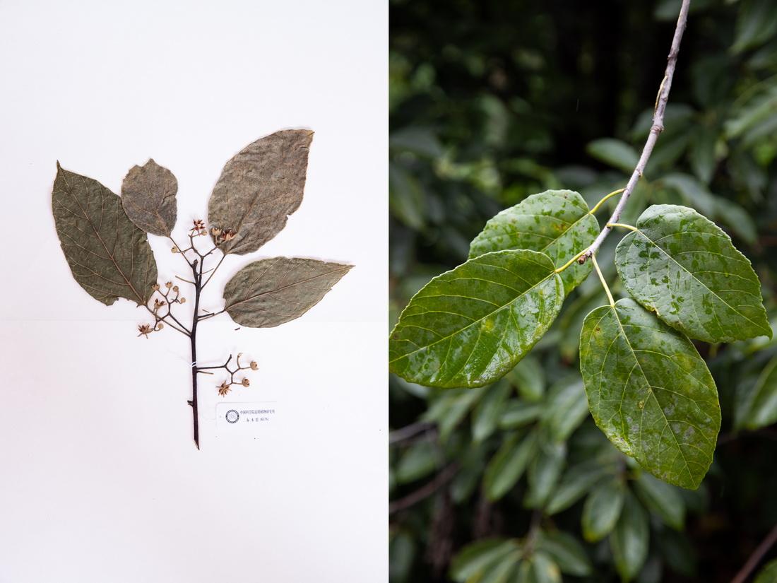 这是10月10日在昆明植物园拍摄的滇桐。这张拼版照片分别为科研人员野外采集的标本(左)和在植物园迁地保护后存活下来的同种植物。