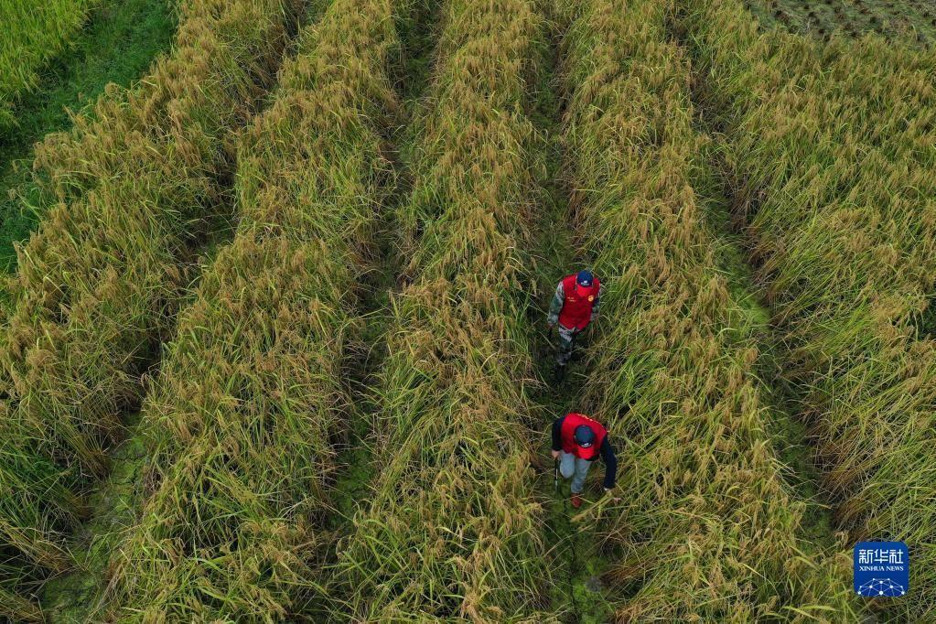"""10月16日,党员志愿者在三都镇新和村袁隆平生态水稻种植基地收割""""巨型稻""""(无人机照片)。"""