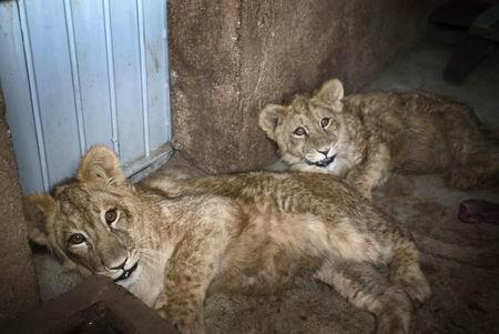 地球上力量强大的猫科动物之一狮子