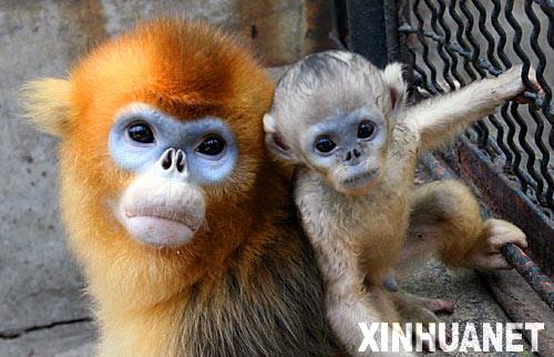 """组图:济南动物园为小金丝猴过""""满月"""" (2)"""