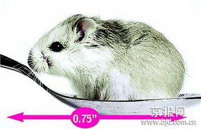 也是世界上个头最小的家鼠