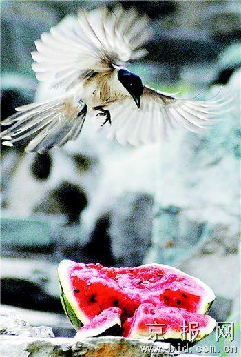 可爱的小生灵,喜鹊们尽情享用美味的同时还不时用