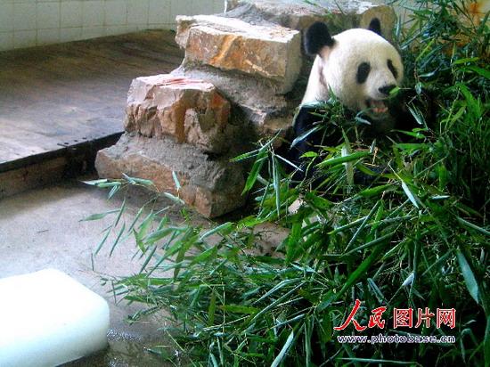大熊猫在憨态可掬地啃食竹子版权作品,请勿转载.