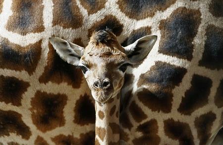 森林动物园出生两天的长颈鹿宝宝