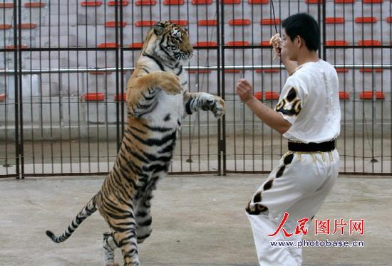 """8月15日,在济南野生动物世界,老虎""""山妮""""在表演站立行走."""