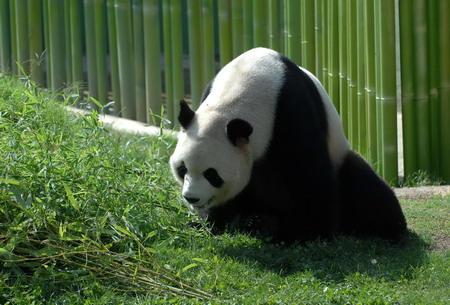 """9月19日,大熊猫""""冰星""""在西班牙马德里动物园大熊猫馆的户外场地活动."""
