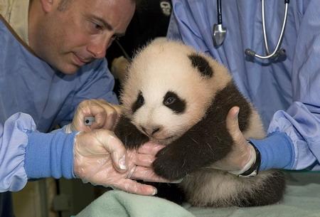 10月17日,在美国加利福尼亚州圣迭戈动物园,营养专家为大熊猫幼崽检